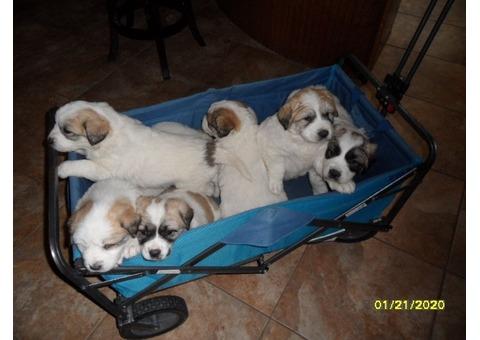Great White Pyrenees Anatolian mix pups